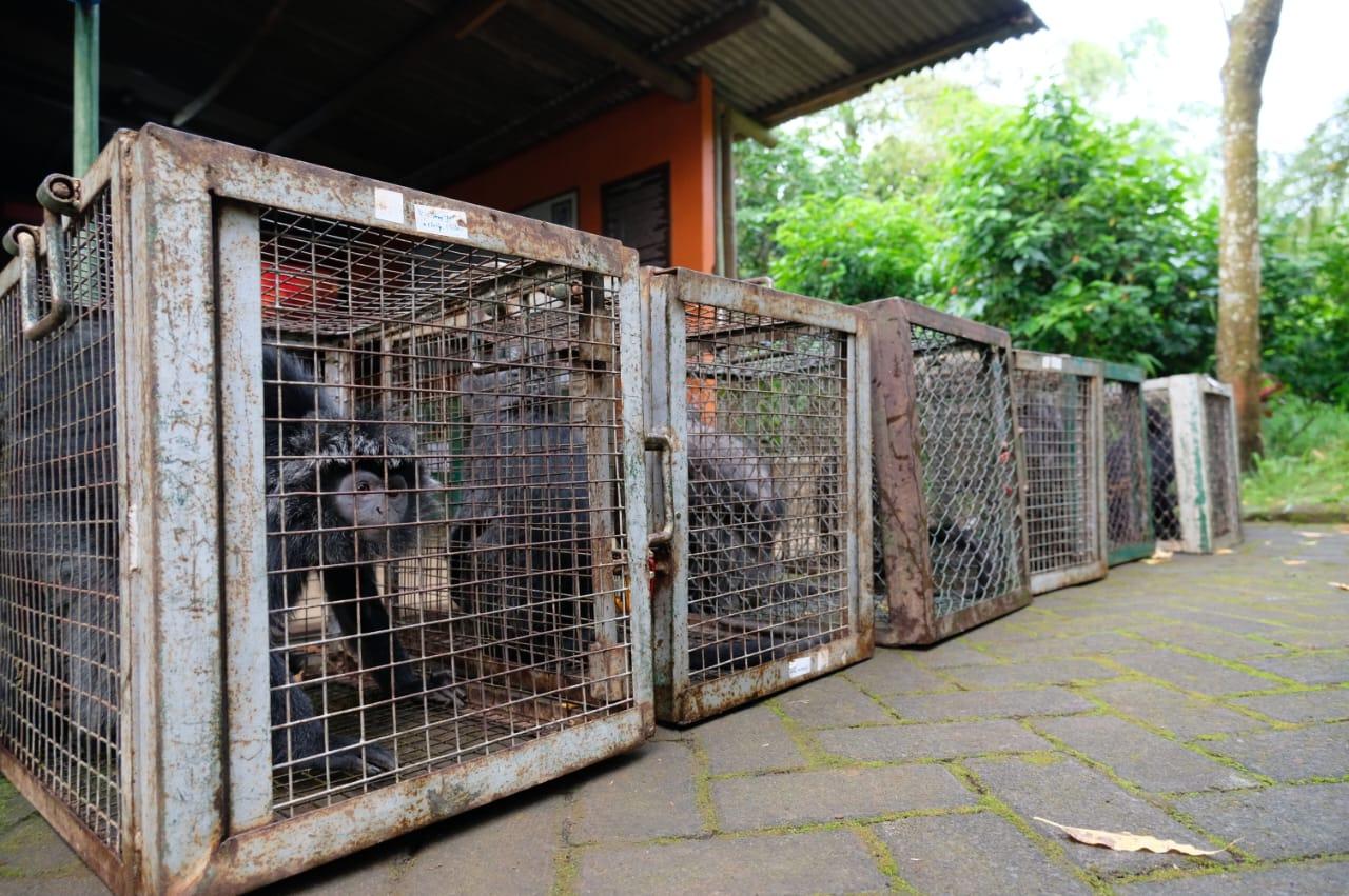Tujuh Ekor Lutung Jawa yang dilepaskan oleh BKSDA Jawa Timur dan Java Langur Center (Foto : Kabarmalang.com)