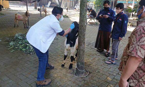 UB Distribusikan 79 Kambing Dan 7 Sapi Pada Idul Adha 1442 H